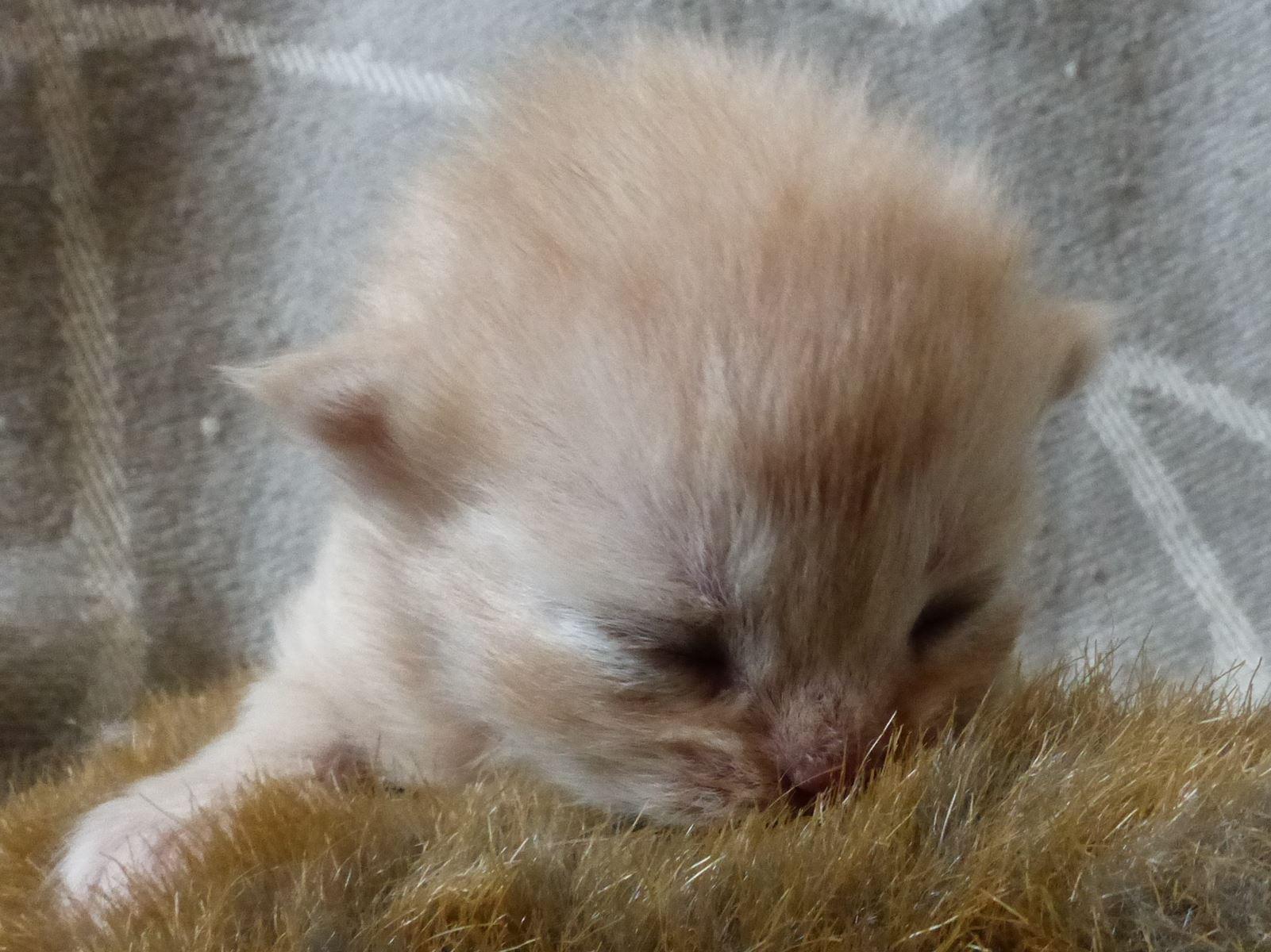 Chaton male creme longhair
