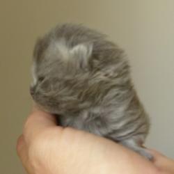 5 mâle longhair bleu